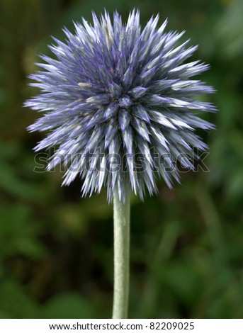 Globe Thistle Thornbush Flower Head