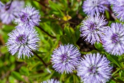 Globularia cordifolia a spring summer flowering plant with a blue purple summertime  flower commonly known as  Heart leaved glob daisy stock photo image