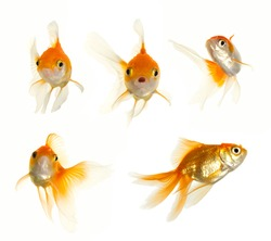 Glodfish collection