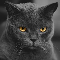gloomy gray scottish cat on dark background. Black and white image
