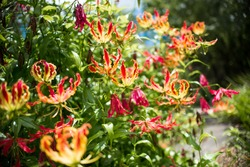 Gloriosa Superba Flame Lily also called Climbing Lily picture taken in the South