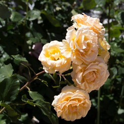 Gloriously magnificent romantic beautiful pale yellow tinged pale pink and cream fully blown hybrid tea  rose blooming  in  late spring  add fragrance and color to the urban  landscape.