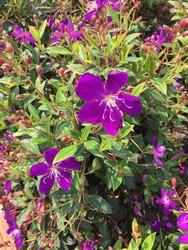 Glory Bush, Brazilian Spider Flower, Lasiandra, Princess Flower, Pleroma, Purple glory tree, It is a small shrub with green leaves, beautiful purple flowers.