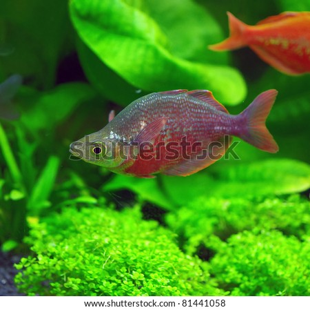Glossolepis incisus or red rainbowfish fish