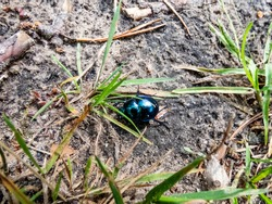 Glossy and colorful Spring dor beetle - Geotrupes vernalis L. (Trypocopris vernalis) on forest ground floor behind grass