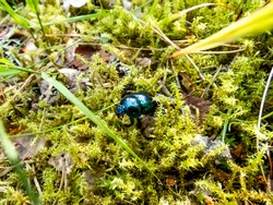 Glossy and colorful Spring dor beetle - Geotrupes vernalis L. (Trypocopris vernalis) on moss in forest. Close up