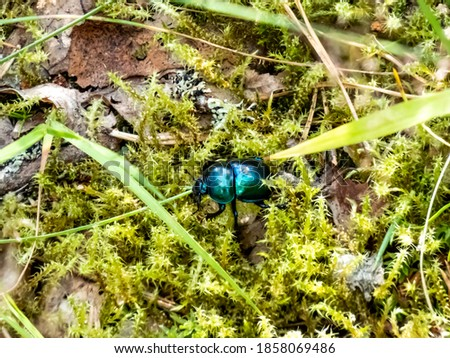 Glossy and colorful Spring dor beetle - Geotrupes vernalis L. (Trypocopris vernalis) on moss in forest. Close up Stockfoto ©