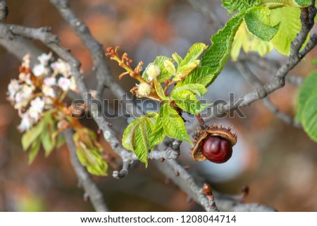 Glossy brown conker and  inflorescence of horse-chestnut. Open spiky shell with nut-like seed of conker tree (aesculus hippocastanum).