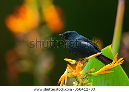 Glossy Flowerpiercer, Diglossa lafresnayii, black bird with bent bill sittin on the orange flower, nature habitat, exotic animal from Colombia