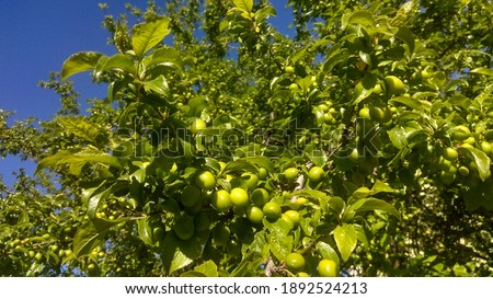 Glossy, green leaves and plums growing along the tree branches in spring. Fruitful, green plum tree. Сток-фото ©