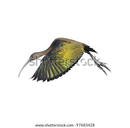 Glossy ibis in flight, isolated on white. Latin name - Plegadis falcinellus.