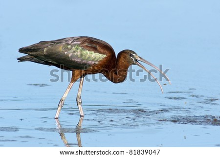 Glossy Ibis (Plegadis falcinellus) foraging for food in blue water.
