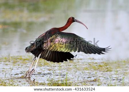 glossy ibis (plegadis falcinellus) in natural habitat