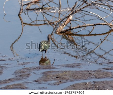 Glossy ibis standing in shallow water foraging and showing off its iridescent colored feathers. Stockfoto ©