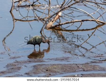 Glossy ibis standing in the water with its beak in the mud. With reflection. Stockfoto ©