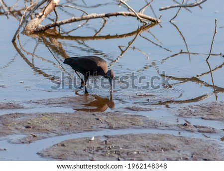 Glossy ibis walking through the mud with its beak in the water looking for food. Stockfoto ©