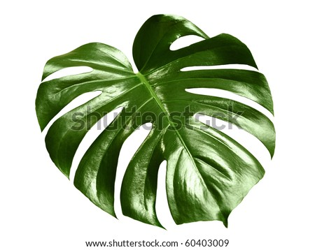 glossy monstera leaf isolated on white background with clipping path