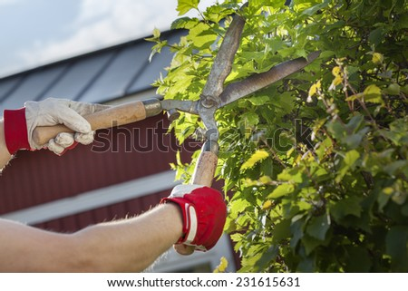 Gloved hands trimming a bush with worn scissors