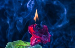Glow of embers. Fresh rose burning to embers. Red flower on fire. Hot smoke swirls dark background