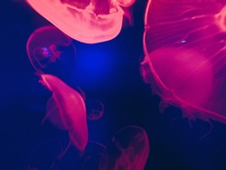 Glowing jellyfish close-up in the aquarium blue color