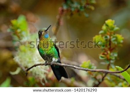 Glowing Puffleg, Eriocnemis vestita, beautiful fairy hummingbird in the nature tropic jungle habitat. Forest bird sitting on the branch in Chingaza National Park, Colombia. Birdwatching in America.