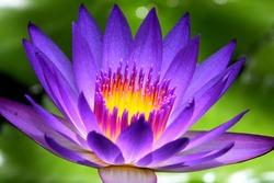 Glowing purple waterlily in the sunlight