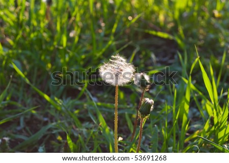 glowing white dandelion in the weed green grass - stock photo