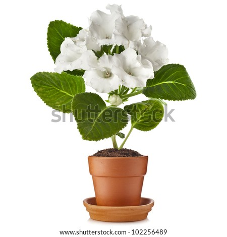 gloxinia growing in clay flowerpot - stock photo