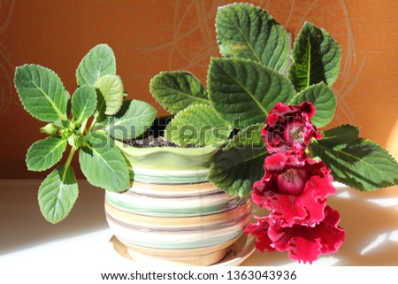 gloxinia in a pot #1363043936