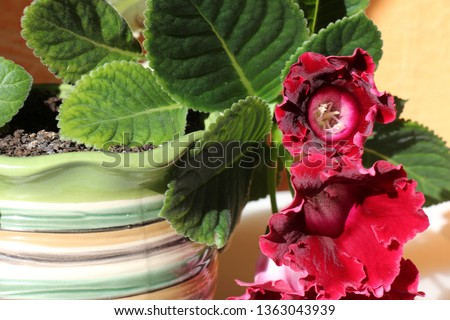 gloxinia in a pot #1363043939