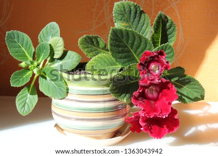 gloxinia in a pot #1363043942