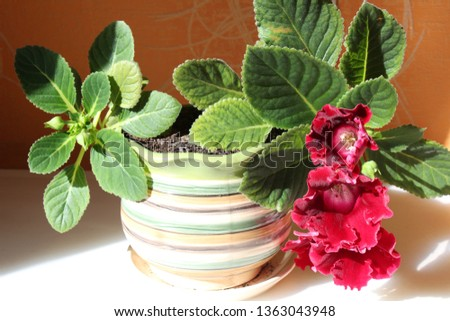 gloxinia in a pot #1363043948