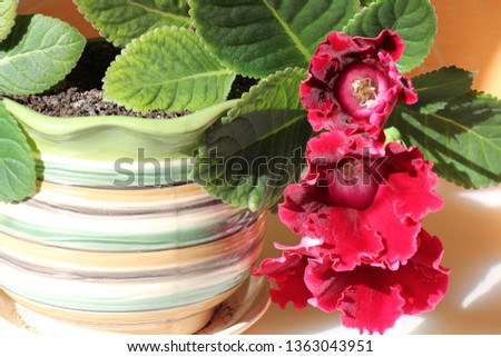 gloxinia in a pot #1363043951