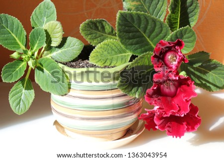 gloxinia in a pot #1363043954