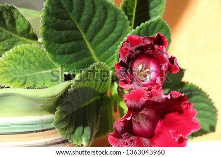 gloxinia in a pot #1363043960