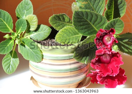 gloxinia in a pot #1363043963