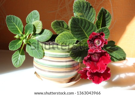 gloxinia in a pot #1363043966