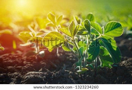 Glycine max, soybean, soya bean sprout growing soybeans on an industrial scale. Products for vegetarians. Agricultural soy plantation on sunny day. An untreated field with weeds.