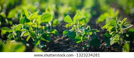Glycine max, soybean, soya bean sprout growing soybeans on an industrial scale. Products for vegetarians. Agricultural soy plantation on sunny day. An untreated field with weeds. Foto d'archivio ©