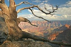 Gnarled Pine - North Rim of Grand Canyon, Arizona