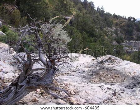 gnarly sagebrush plant growing on rock