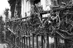 Gnarly vines on an iron fence