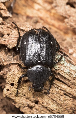 Gnorimus variabilis on oak log, extreme close-up
