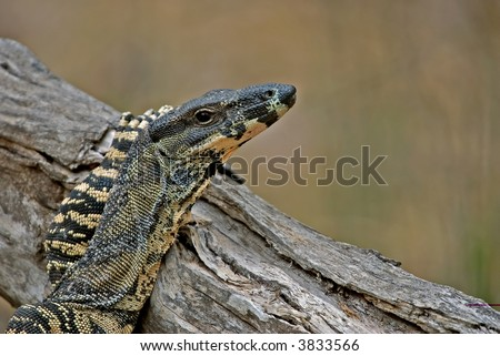 Goanna (Lace Monitor) Puts Its Arm Up And Rests ...