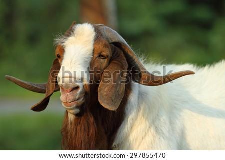 goat  #297855470