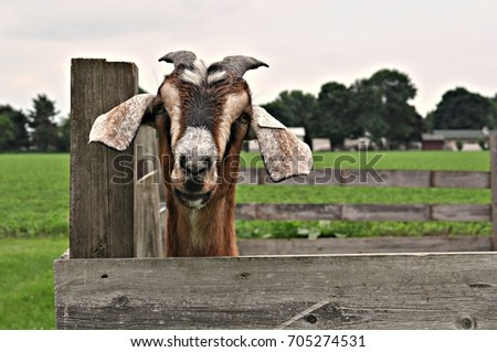 goat  #705274531