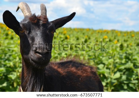 Goat, Black goat, Domestic goat, Black goat portrait #673507771