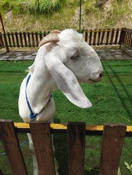 Goat (Capra aegagrus hircus) is one of the goat subspecies that is kept. Goats are members of the Bovidae family and are siblings with sheep because they both belong to the Caprinae sub-family.