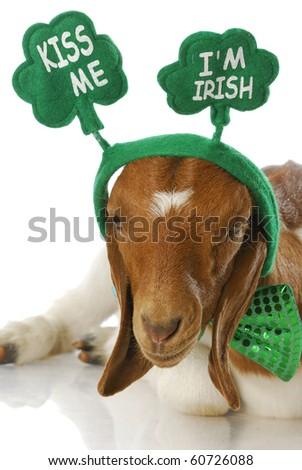 goat dressed up for st patricks day - kiss me i'm irish - purebred south african boer doeling