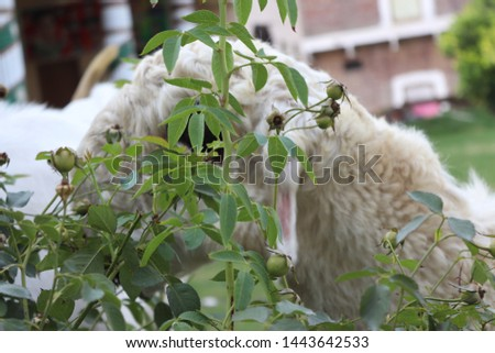 goat eating flower goat eat plant goat picture goats flower picture